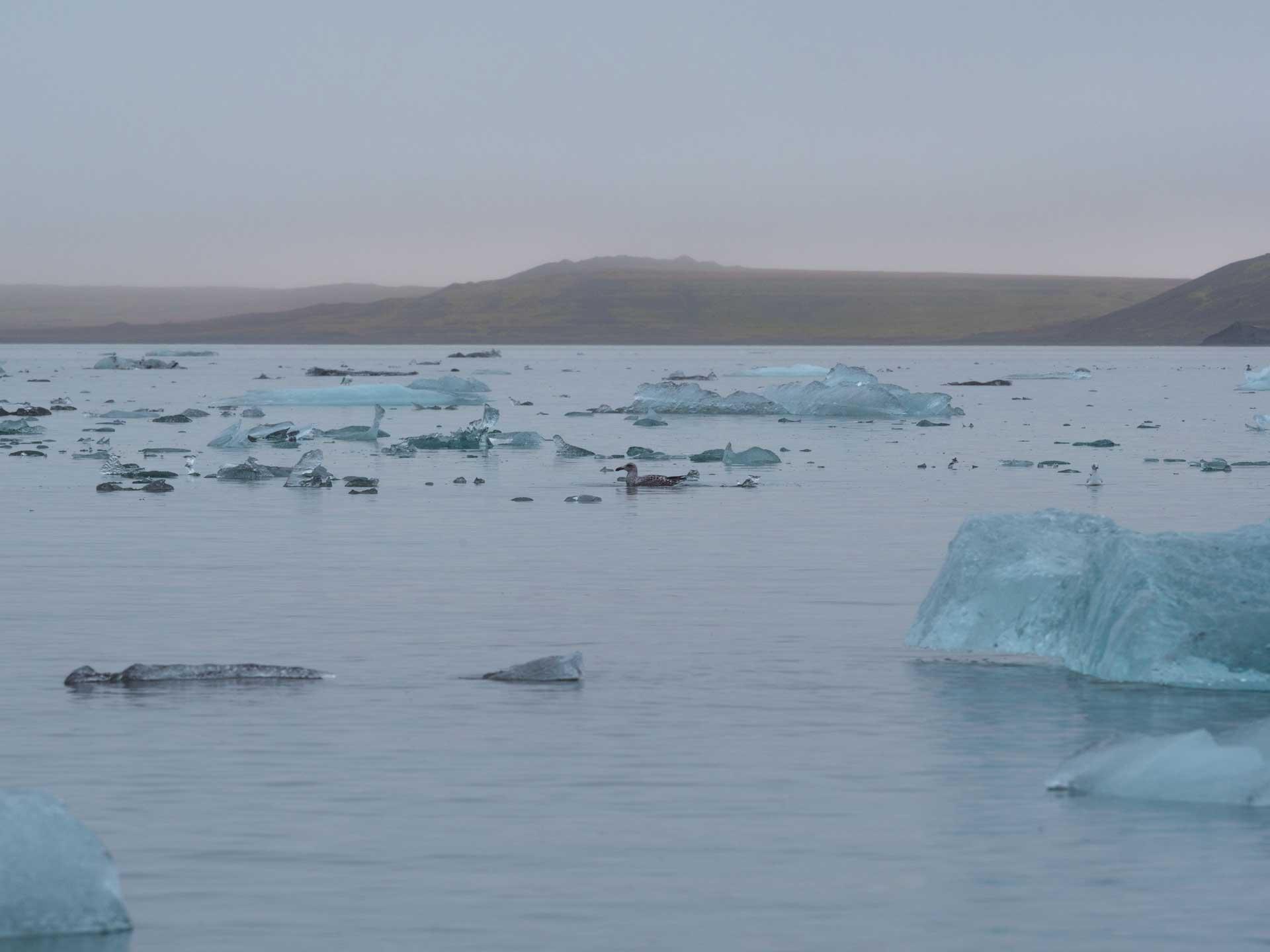 Une mouette dans la glace